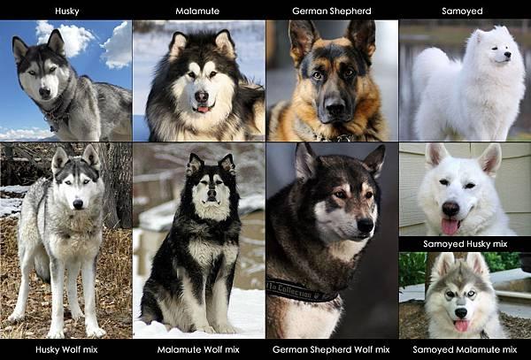 mix_wolf_dogs.jpg