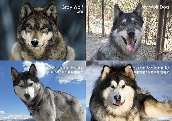 Comparing_Wolf_Husky_Malamute.jpg