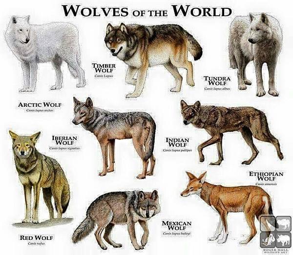 Wolfs.jpg