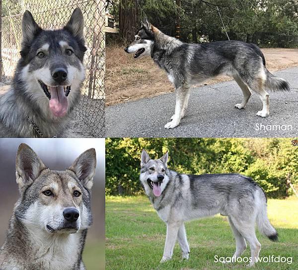 Shaman_Saarloos wolfdog.jpg