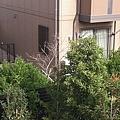 樹頂的一顆柿子