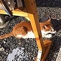 在淺草神社的販賣部旁邊拍到的貓咪