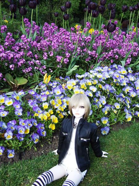 深紫色鬱金香