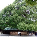 好大的樹~