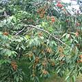 長的滿滿的櫻桃