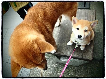 柴犬 (2)