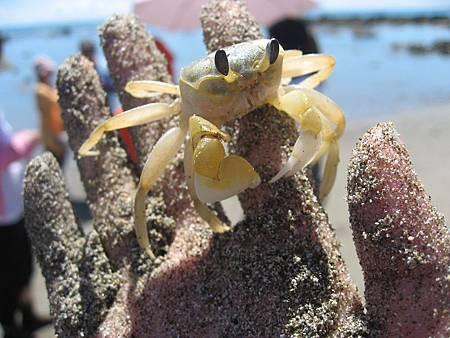 富山禁漁區 沙蟹 (2)