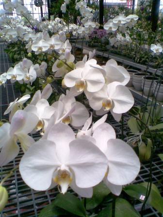 白色蘭花.jpg