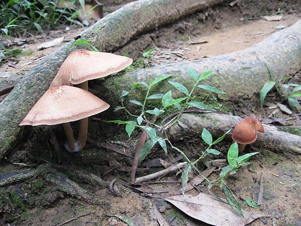 小野菇.JPG
