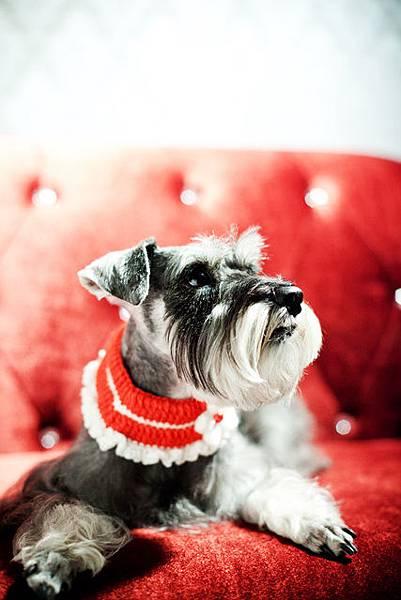 高雄寵物寫真攝影-可愛雪納瑞愛犬