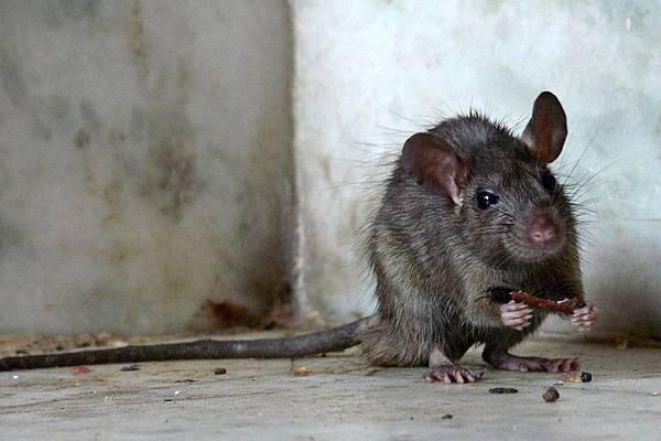 rats29.jpg