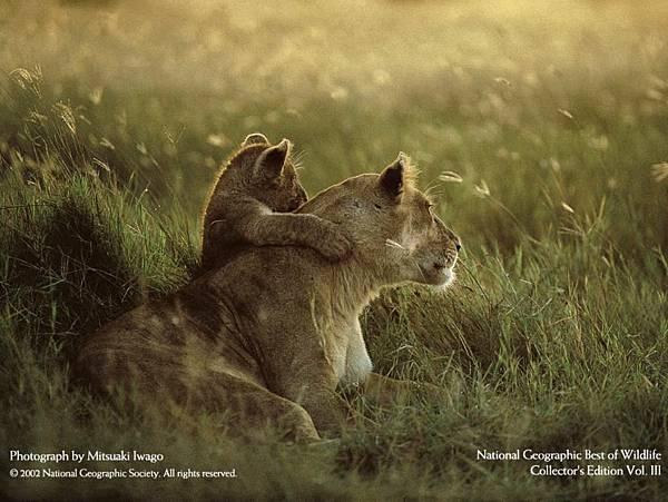國家地理-3母獅與子.jpg