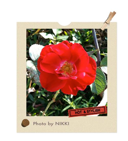 不曉得名稱的紅玫瑰.jpg