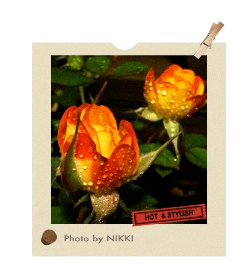 夜拍迷你玫瑰.jpg