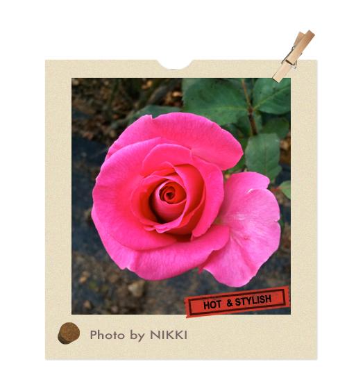 漂亮的山形玫瑰花朵.jpg