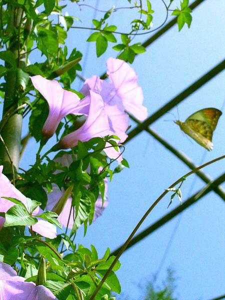 蝴蝶採花大盜