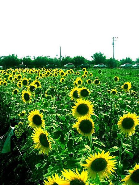 向日葵冒汗時光