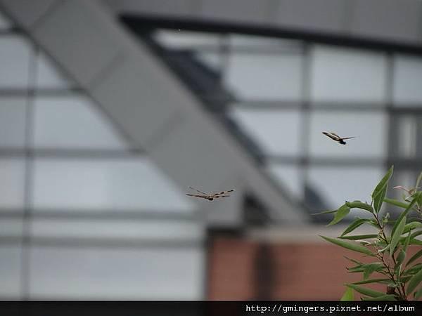 二隻飛翔昆蟲-近1