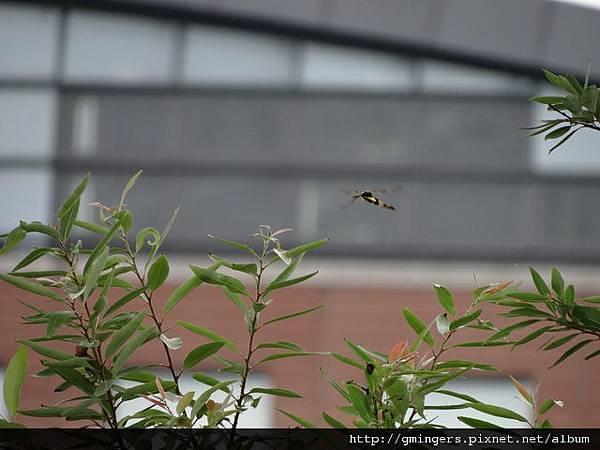 二隻飛翔昆蟲-近2