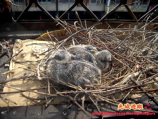 剛出生一週的小鳥們