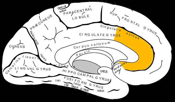 Gray727_anterior_cingulate_cortex