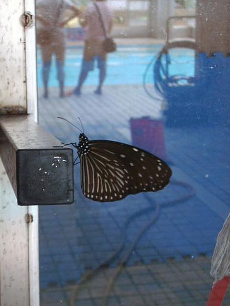 翩翩飛舞的蝴蝶是我們泳池的常客