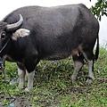 生活中已經很少見的水牛