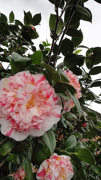 茶村大朵大朵的花兒