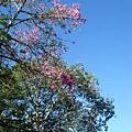 泰雅渡假村裡美麗的櫻花