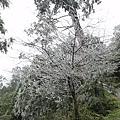 攝氏兩度欸!樹都結霜了!