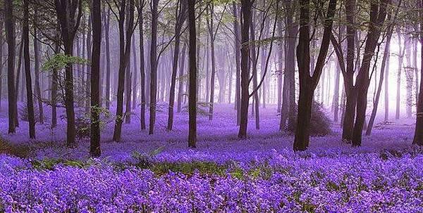 比利時 Hallerbos 的風信子花園.jpg