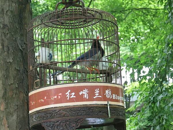 39紅嘴蘭鵲.jpg