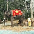 32準備去表演的大象.jpg