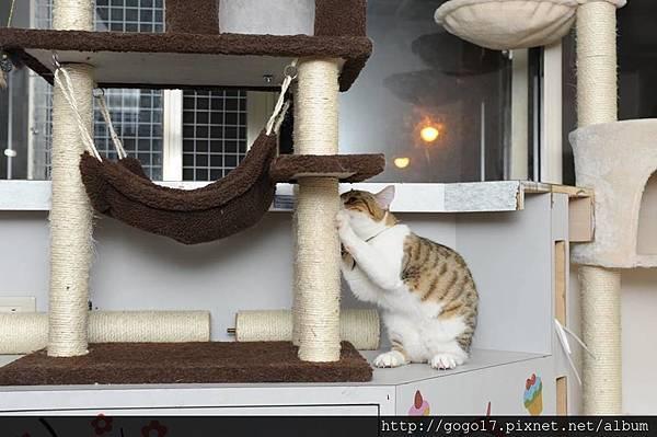 貓咪住宿台北-磨爪是貓的習性.jpg