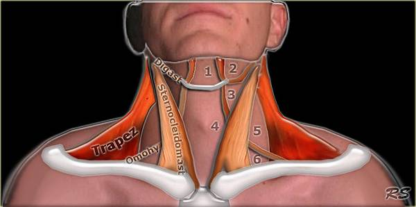 deep neck flexor