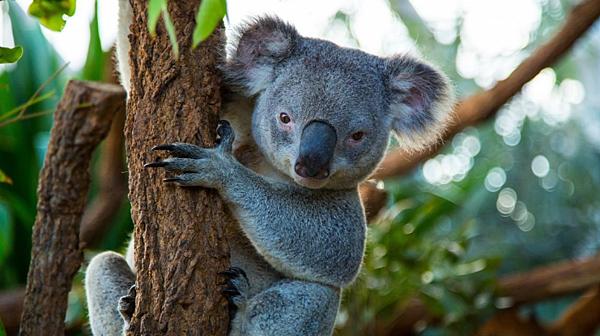 雪梨遊學-重點語言學校 無尾熊 gogoenglish