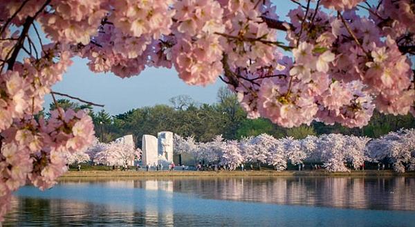 櫻花中的DC特區- 美國10大熱門遊學城市 gogoenglish