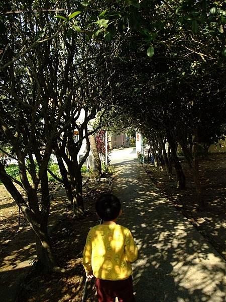 漫步桂花林