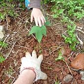 20120523種油桐 (4)