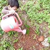 20120523種油桐 (10)