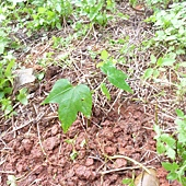 20120523種油桐 (11)