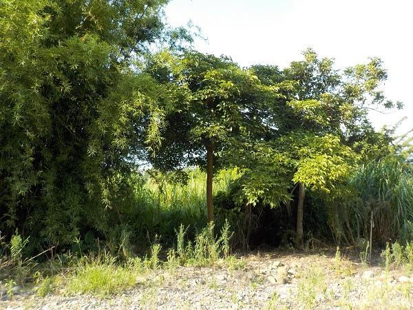20160701茄苳樹 (1).JPG