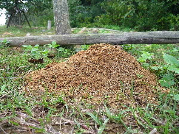 紅火蟻蟻丘.jpg