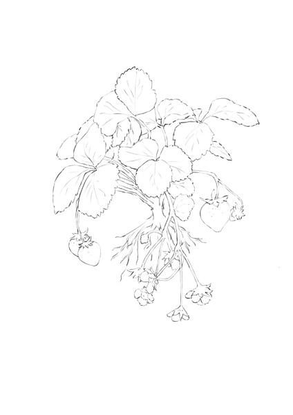 草莓-線稿.JPG