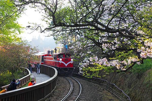 阿里山小火車與櫻花圖片來源FLICKR:JERRY LAI.jpg