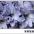 風信子f08.jpg