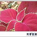 彩葉草k06.jpg