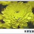 菊花小2.jpg
