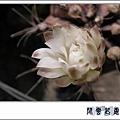 仙人掌花1.jpg