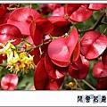 台灣欒樹l08.jpg